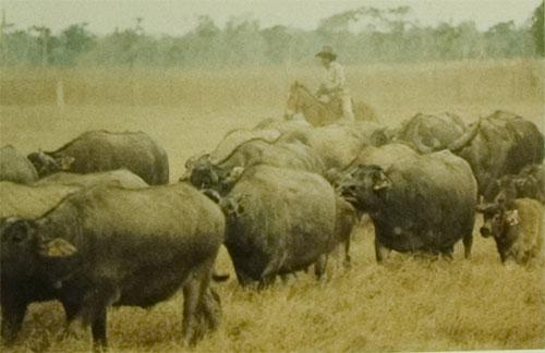 NT buffalo policy